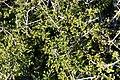 Quercus coccifera- Kermesek-9857 - Flickr - Ragnhild & Neil Crawford.jpg