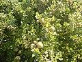 Quercus coccifera - acorns and foliage.jpg