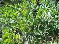 Quercus douglasii-2.jpg