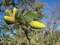 Quercus douglasii-6.jpg