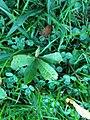 Quercus palustris Muenchh. (AM AK330547-4).jpg