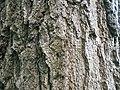 Quercus rubra 2017-05-23 0495.jpg