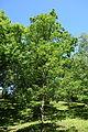 Quercus serrata subsp. serrata (Quercus glandulifera var. brevipetiolata) - Arnold Arboretum - DSC06856.JPG