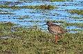 Rödbena Common Redshank (19728637964).jpg