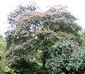 RN Jacan (hilliers arboretum ampfield).JPG