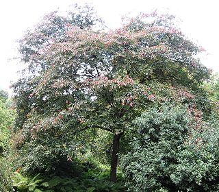 <i>Ulmus davidiana</i> var. <i>japonica</i> Jacan Elm cultivar