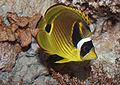 Raccoon butterflyfish, Chaetodon lunula.jpg