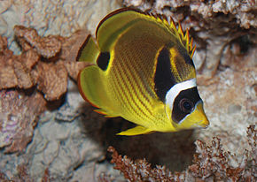 Description de l'image Raccoon butterflyfish, Chaetodon lunula.jpg.