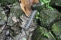 Rainforest millipede Maninjau.jpg