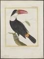 Ramphastos tucanus - 1700-1880 - Print - Iconographia Zoologica - Special Collections University of Amsterdam - UBA01 IZ19300263.tif