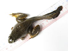 A juvenile frog sitting on a ruler, viewed from the top. It reaches seven centimeters from its mouth to the base of its tail, with the tail extending a further seven centimetres.