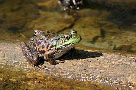 North American Green Frog, female.