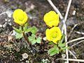 Ranunculus nivalis IMG 4242 snösoleie endalen.JPG