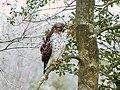 Red-Shouldered Hawk (4678378705).jpg