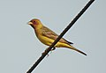 Red-headed Bunting Emberiza bruniceps Male by Dr. Raju Kasambe DSCN9056 (11).jpg