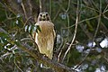 Red-shouldered hawk portrait sanibel view (16039503557).jpg