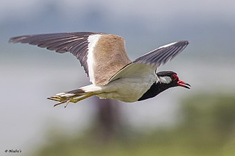 Red-wattled lapwing.jpg
