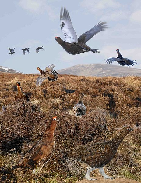 File:Red Grouse from the Crossley ID Guide Britain and Ireland.jpg
