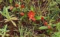 Red Passion Flowers (Passiflora coccinea) (25490387278).jpg