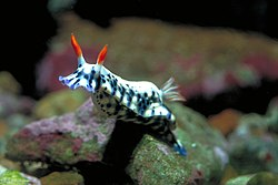 Red Sea Nudibranch.jpg