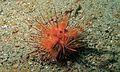 Red Urchin (Astropyga radiata) (6059718594).jpg