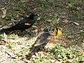 Red winged blackbirds eating seed 3.jpg