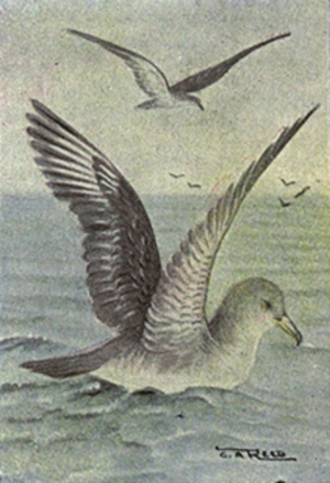 Audubon's shearwater - Illustration by Chester A. Reed