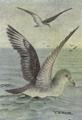 Reed-audubons-shearwater.png