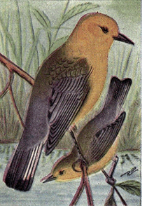 Reed-prothontary-warbler.png