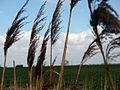 Reeds - geograph.org.uk - 740046.jpg