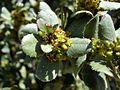 Rhamnus ludovici-salvatoris 2.JPG