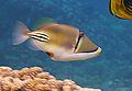 Rhinecanthus assasi - Rotmeer-Picassodrueckerfisch 0938.jpg