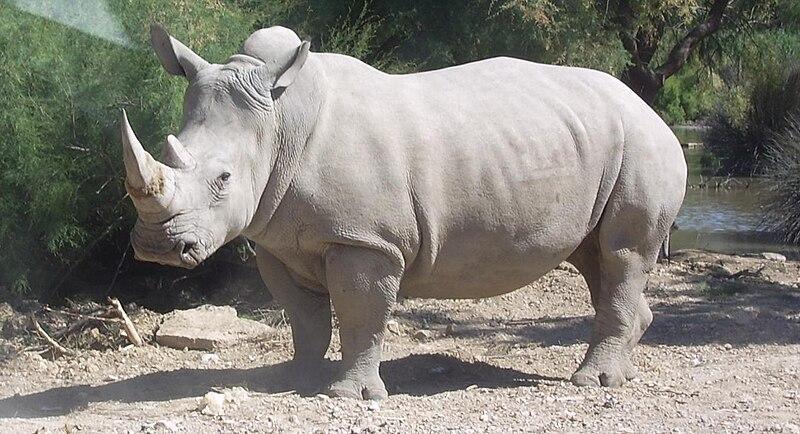 Fichier:Rhinocéros blanc JHE.jpg