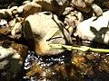 Rhinocypha bisignata, stream ruby. 2.jpg