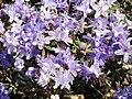 Rhododendron impeditum - University of Copenhagen Botanical Garden - DSC07498.JPG