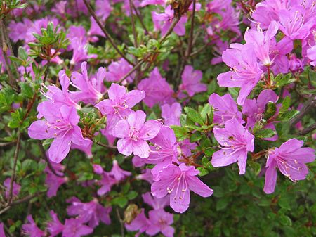 Rhododendron kiusianum in Ebino.jpg