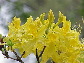"""<i>Rhododendron <span style=""""font-style:normal;"""">subg.</span> Pentanthera</i> Subgenus of flowering plants"""