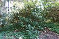 Rhododendron moupinense - VanDusen Botanical Garden - Vancouver, BC - DSC07188.jpg