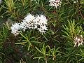 Rhododendron tomentosum Bagno zwyczajne 2015-05-17 03.jpg