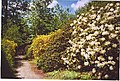 Rhododendrons in Leith Hill Wood - geograph.org.uk - 104996.jpg