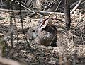 Riparian brush rabbitt sylvilagus bachmani riparius.jpg