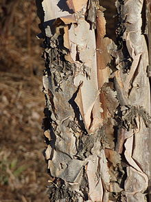 The bark of a young river birch