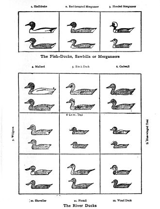 Ernest Thompson Seton - The diagrams of ducks inspired Roger Tory Peterson's idea for a field guide