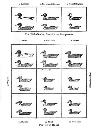 The diagrams of ducks inspired Roger Tory Peterson's idea for a field guide River ducks Seton.jpg