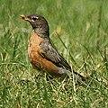 Robin (4736409521).jpg
