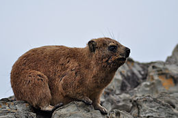 Damán do Cabo (Procavia capensis)