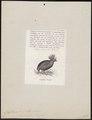 Rollulus roulroul - 1872 - Print - Iconographia Zoologica - Special Collections University of Amsterdam - UBA01 IZ17100269.tif