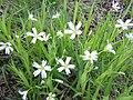 Romanian Flora - White flower 03.JPG
