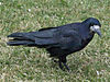 Rook Corvus frugilegus.jpg