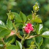Rosa 'Amulett' (d.j.b).jpg